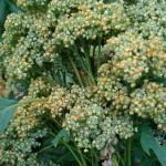 quinoa voor de bloei